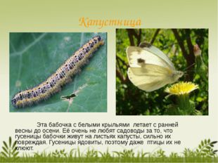 Капустница Эта бабочка с белыми крыльями летает с ранней весны до осени. Её
