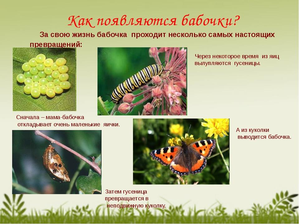 Как появляются бабочки? За свою жизнь бабочка проходит несколько самых настоя...