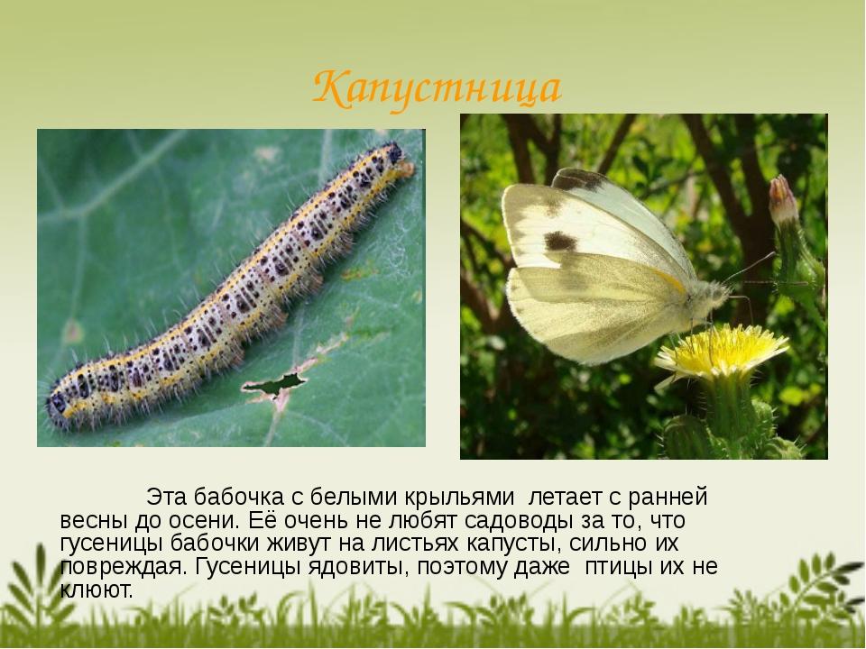 Капустница Эта бабочка с белыми крыльями летает с ранней весны до осени. Её...