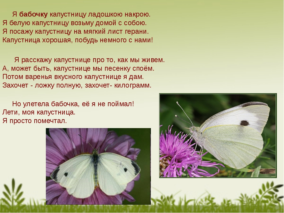 Я бабочку капустницу ладошкою накрою. Я белую капустницу возьму домой с собо...