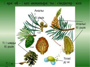 Қарағай – қылқанжапырақты өсімдіктер өкілі Аталық бүршік Тозаң дәні Аналық бү