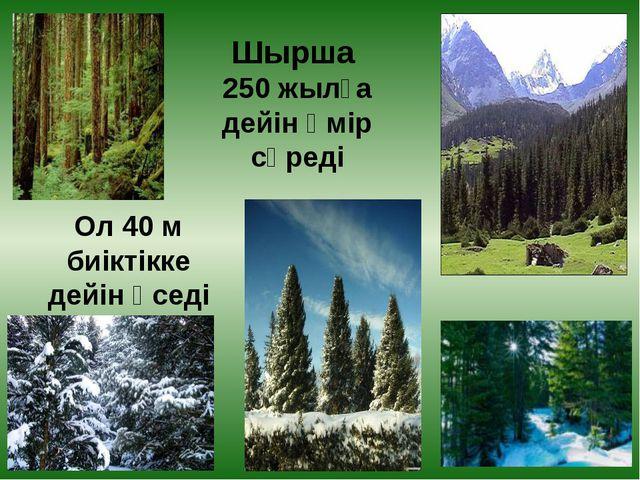 Шырша 250 жылға дейін өмір сүреді Ол 40 м биіктікке дейін өседі