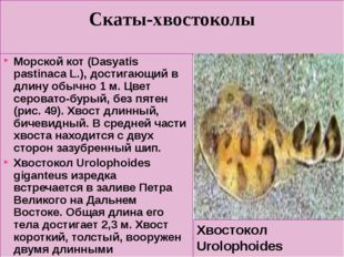 Скаты-хвостоколы Морской кот (Dasyatis pastinaca L.), достигающий в длину обы