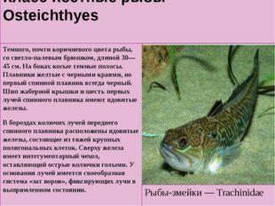 Класс Костные рыбы — Osteichthyes Темного, почти коричневого цвета рыбы, со с