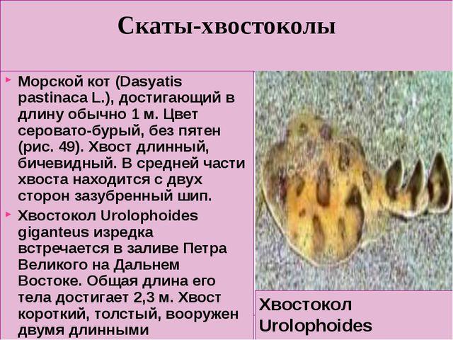 Скаты-хвостоколы Морской кот (Dasyatis pastinaca L.), достигающий в длину обы...