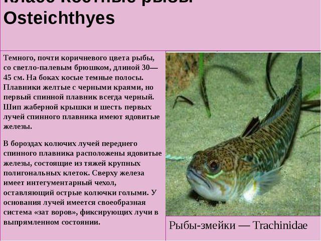 Класс Костные рыбы — Osteichthyes Темного, почти коричневого цвета рыбы, со с...