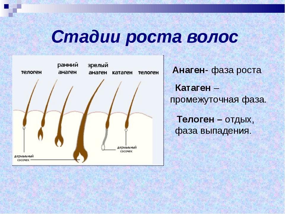 Стадии роста волос Телоген – отдых, фаза выпадения. Анаген- фаза роста Катаг...
