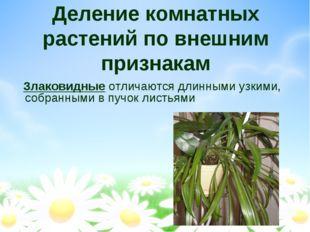 Деление комнатных растений по внешним признакам Злаковидные отличаются длинны