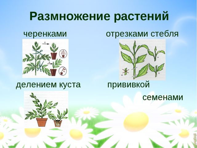 Размножение растений черенками отрезками стебля делением куста прививкой семе...