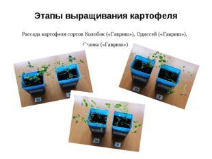 Этапы выращивания картофеля Рассада картофеля сортов Колобок («Гавриш»), Одис