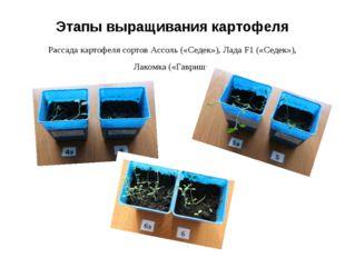Этапы выращивания картофеля Рассада картофеля сортов Ассоль («Седек»), Лада F