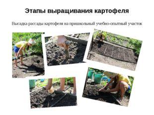 Этапы выращивания картофеля Высадка рассады картофеля на пришкольный учебно-о