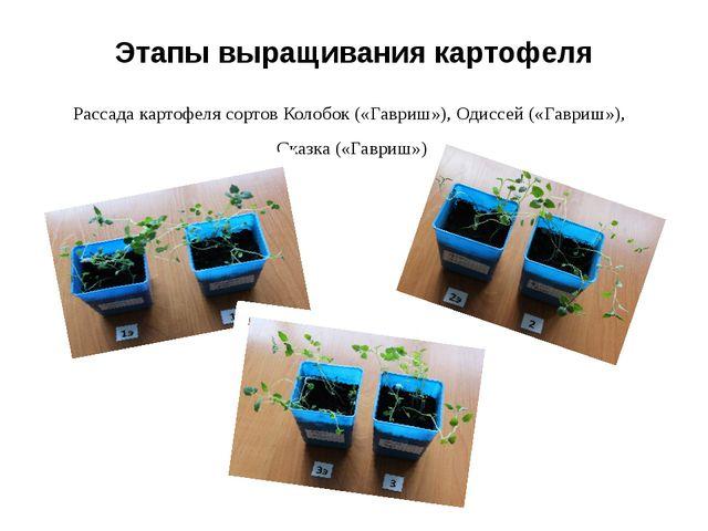 Этапы выращивания картофеля Рассада картофеля сортов Колобок («Гавриш»), Одис...