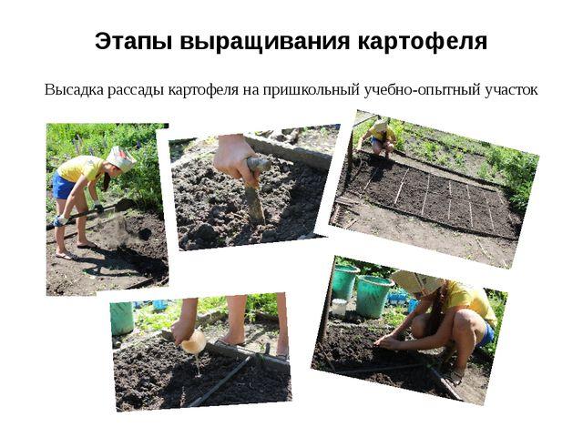 Этапы выращивания картофеля Высадка рассады картофеля на пришкольный учебно-о...