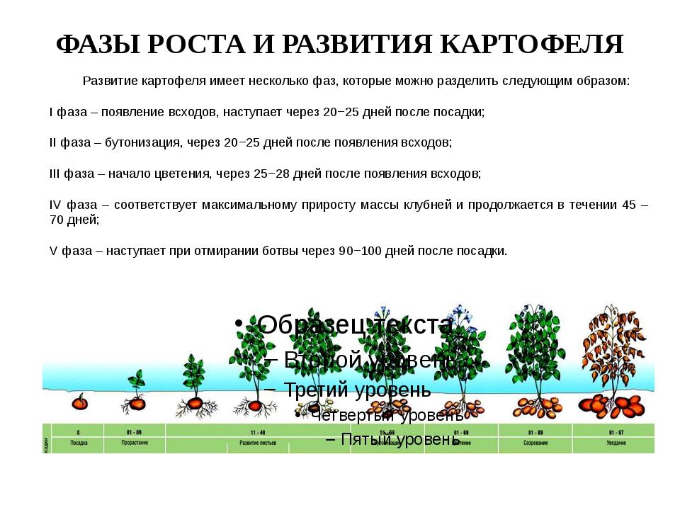 ФАЗЫ РОСТА И РАЗВИТИЯ КАРТОФЕЛЯ Развитие картофеля имеет несколько фаз, кото...