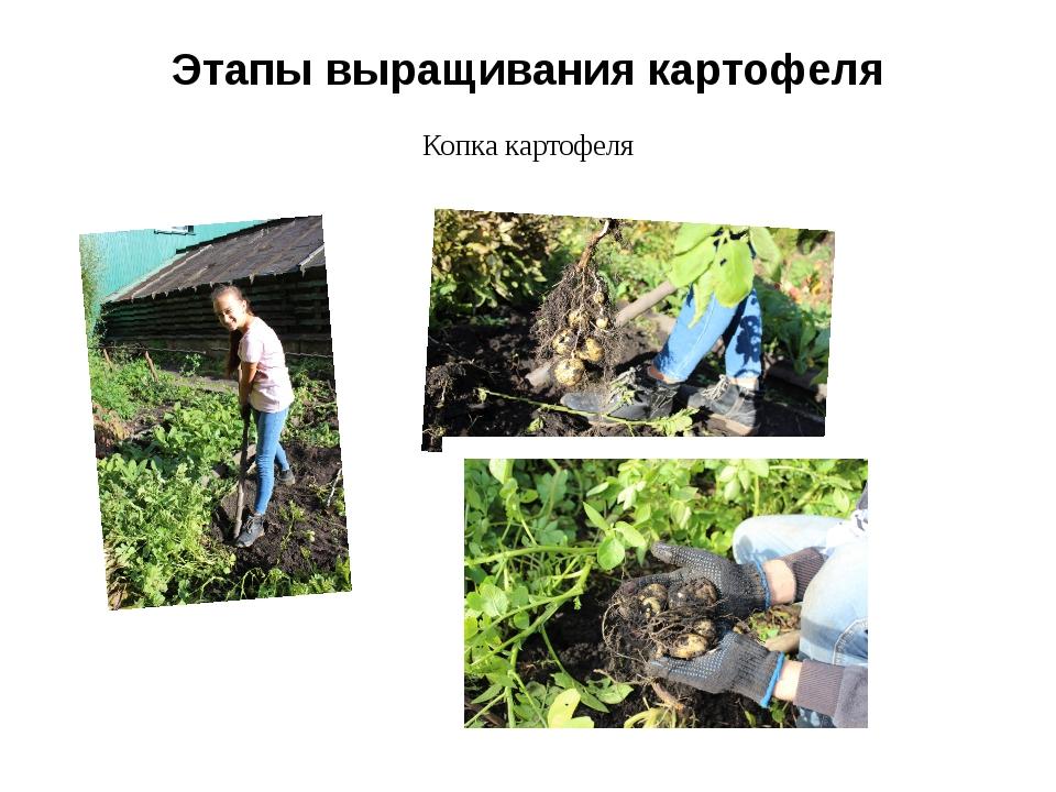 Этапы выращивания картофеля Копка картофеля