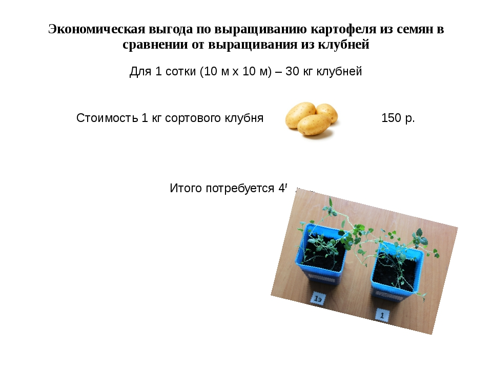 Экономическая выгода по выращиванию картофеля из семян в сравнении от выращив...