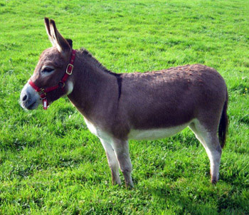 http://holebrookfarm.co.uk/wp-content/uploads/2011/02/minature-med-donkeys-dartmoor.jpg