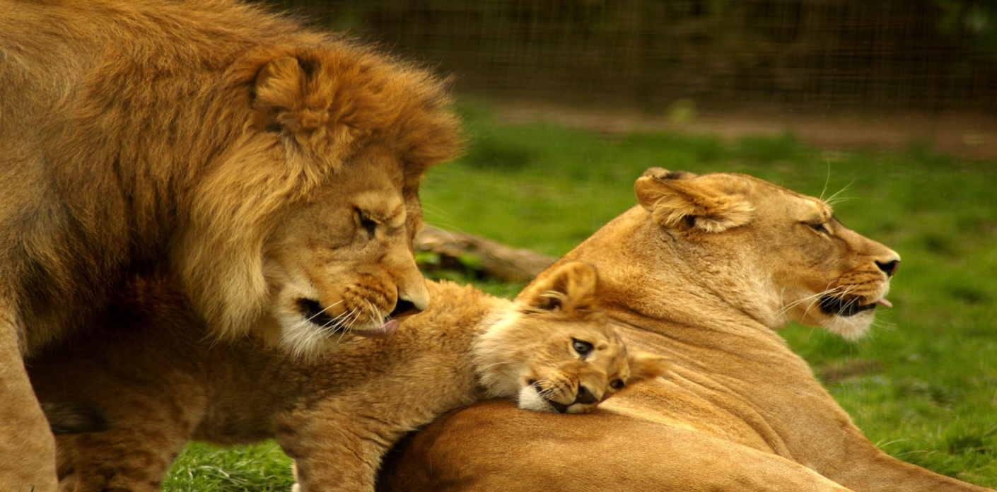 http://tejanimals.files.wordpress.com/2013/05/lion-family-105624469667.jpg