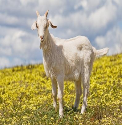 https://upload.wikimedia.org/wikipedia/commons/f/ff/Domestic_goat_kid_in_capeweed.jpg