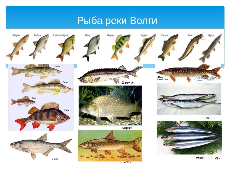 рыбы нижегородской области фото и названия искру, пробежавшую между
