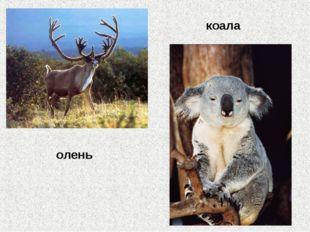 олень коала