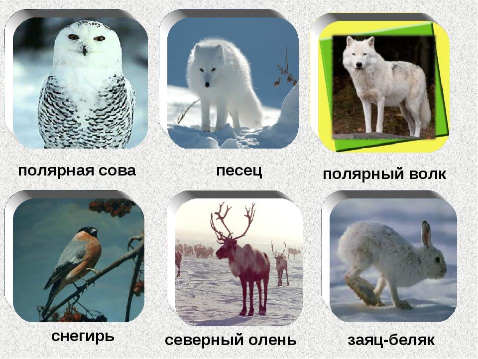 полярная сова песец полярный волк снегирь северный олень заяц-беляк