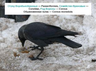 Отряд Воробьеобразные — Passeriformes, Семейство Врановые — Corvidae, Род Вор