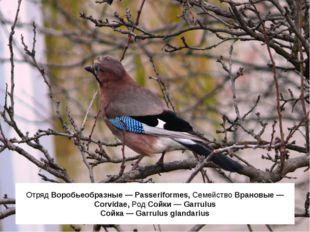 Отряд Воробьеобразные — Passeriformes, Семейство Врановые — Corvidae, Род Сой