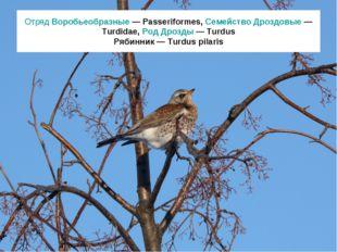 Отряд Воробьеобразные — Passeriformes, Семейство Дроздовые — Turdidae, Род Др