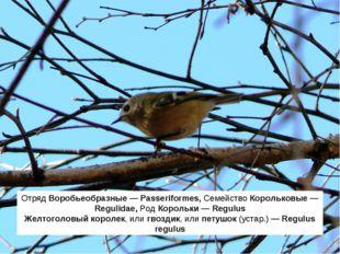 Отряд Воробьеобразные — Passeriformes, Семейство Корольковые — Regulidae, Род