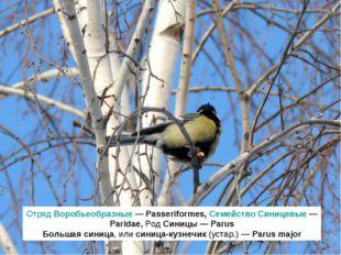 Отряд Воробьеобразные — Passeriformes, Семейство Синицевые — Paridae, Род Син
