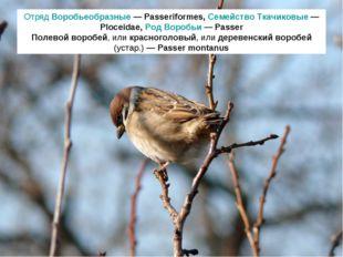 Отряд Воробьеобразные — Passeriformes, Семейство Ткачиковые — Ploceidae, Род