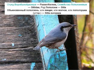 Отряд Воробьеобразные — Passeriformes, Семейство Поползневые — Sittidae, Род