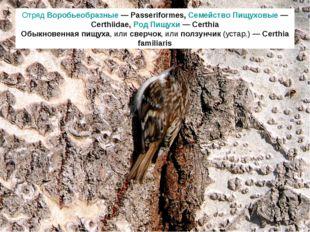 Отряд Воробьеобразные — Passeriformes, Семейство Пищуховые — Certhiidae, Род