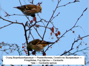 Отряд Воробьеобразные — Passeriformes, Семейство Вьюрковые — Fringillidae, Ро