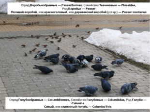 Отряд Голубеобразные — Columbiformes, Семейство Голубиные — Columbidae, Род Г