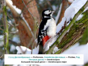 Отряд Дятлообразные — Piciformes, Семейство Дятловые — Picidae, Род Пестрые д
