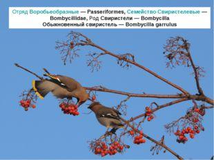 Отряд Воробьеобразные — Passeriformes, Семейство Свиристелевые — Bombycillida