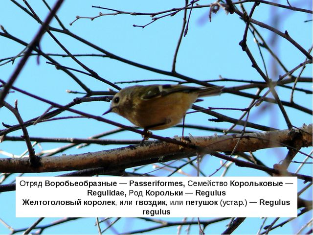 Отряд Воробьеобразные — Passeriformes, Семейство Корольковые — Regulidae, Род...