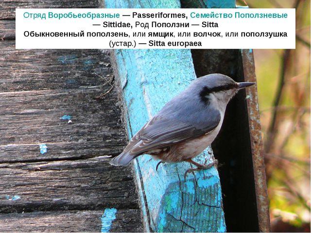 Отряд Воробьеобразные — Passeriformes, Семейство Поползневые — Sittidae, Род...