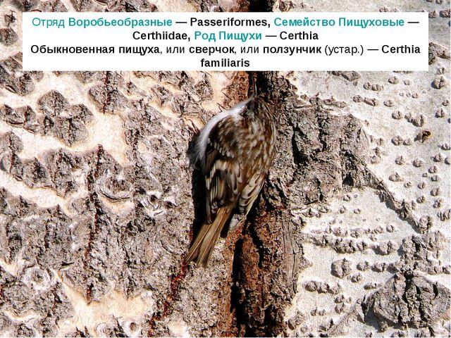 Отряд Воробьеобразные — Passeriformes, Семейство Пищуховые — Certhiidae, Род...