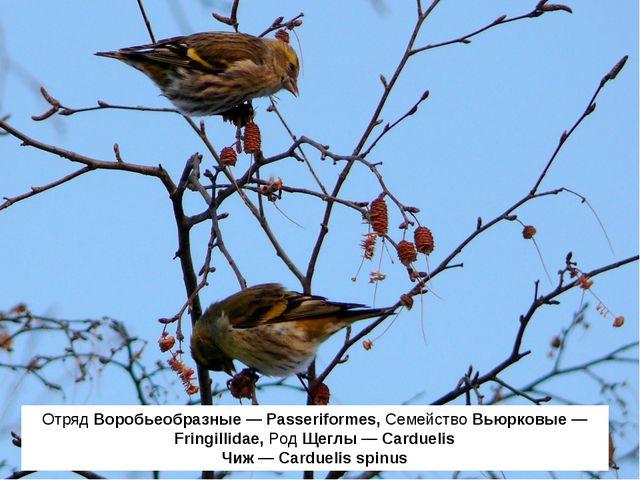 Отряд Воробьеобразные — Passeriformes, Семейство Вьюрковые — Fringillidae, Ро...