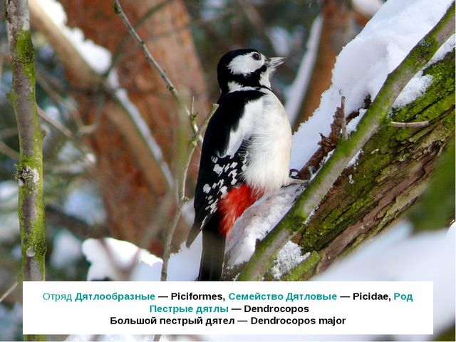 Отряд Дятлообразные — Piciformes, Семейство Дятловые — Picidae, Род Пестрые д...