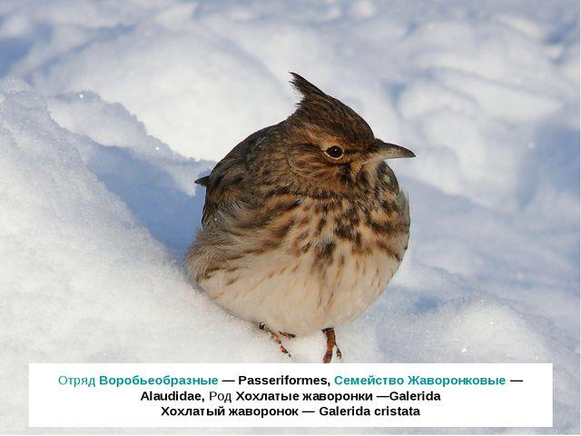 Отряд Воробьеобразные — Passeriformes, Семейство Жаворонковые — Alaudidae, Ро...