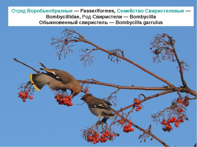 Отряд Воробьеобразные — Passeriformes, Семейство Свиристелевые — Bombycillida...