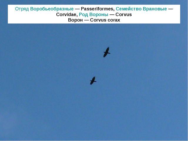 Отряд Воробьеобразные — Passeriformes, Семейство Врановые — Corvidae, Род Вор...