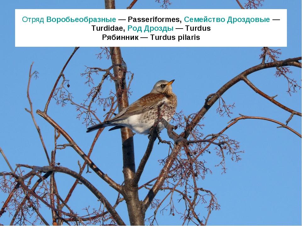 Отряд Воробьеобразные — Passeriformes, Семейство Дроздовые — Turdidae, Род Др...