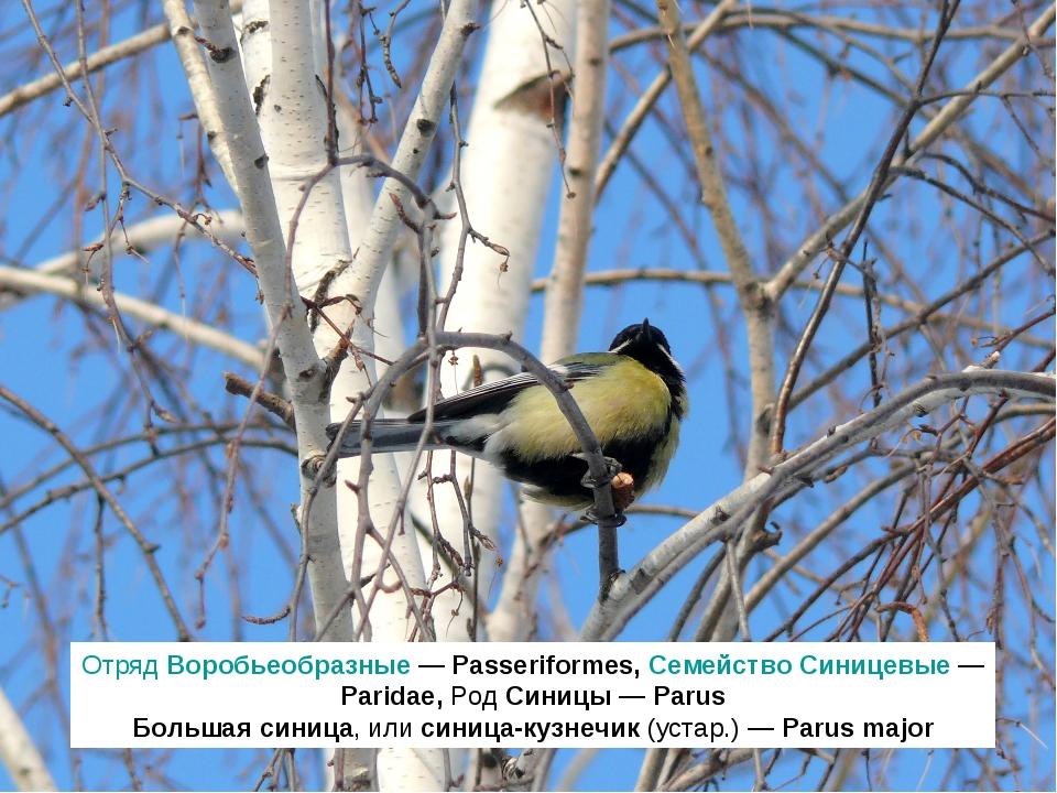 Отряд Воробьеобразные — Passeriformes, Семейство Синицевые — Paridae, Род Син...