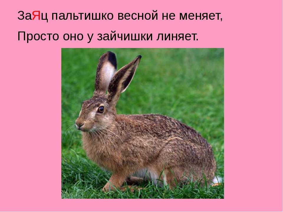 ЗаЯц пальтишко весной не меняет, Просто оно у зайчишки линяет.